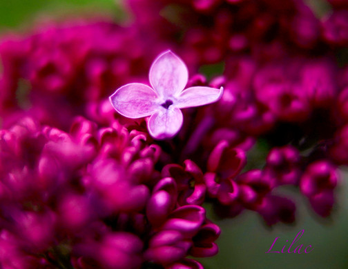 Lilac, first bloom