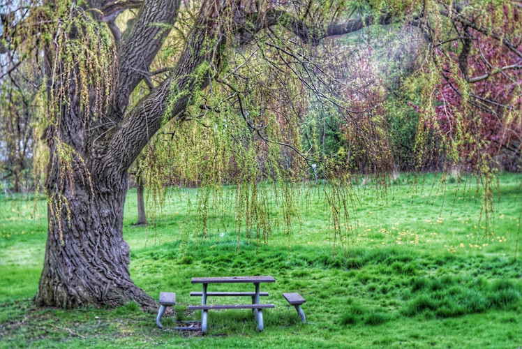 Weeping Willow in springtime, Brueckner Rhododendron Gardens