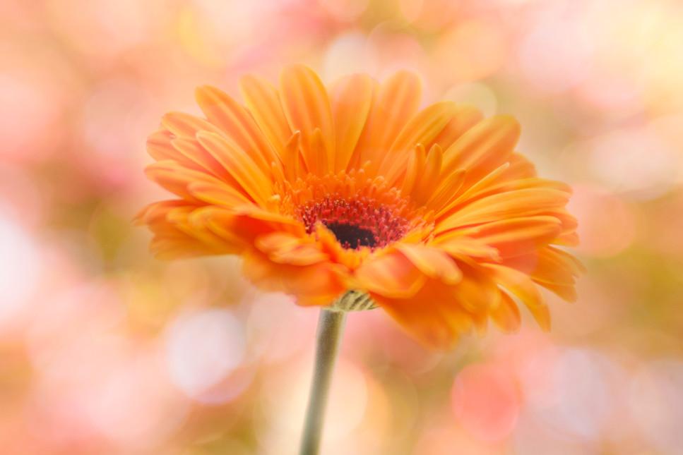 Orange Gerbera double exposure