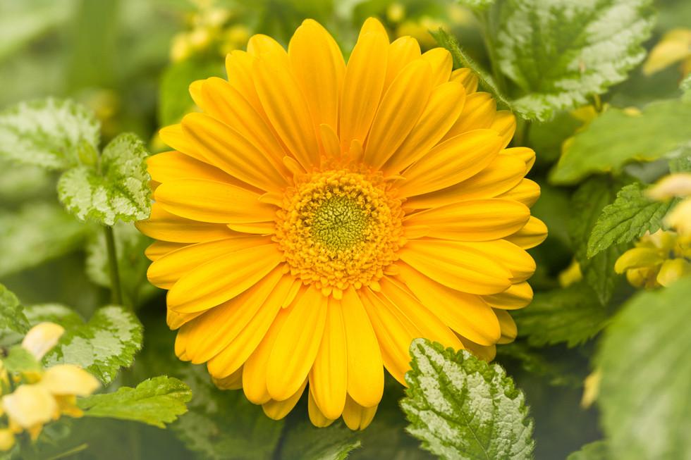 Hide and seek yellow Gerbera