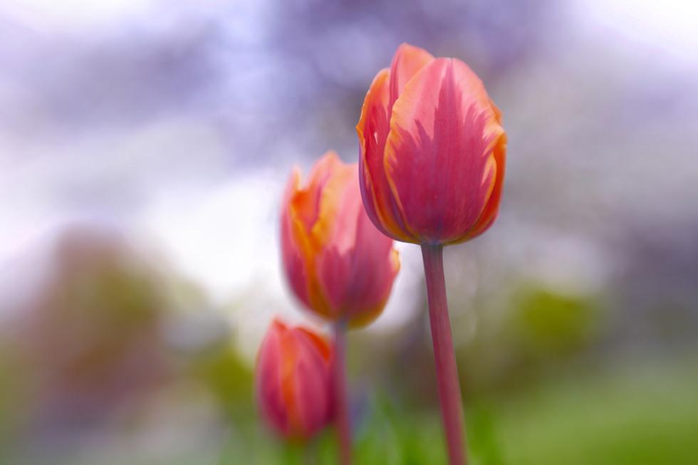 Janine's tulips
