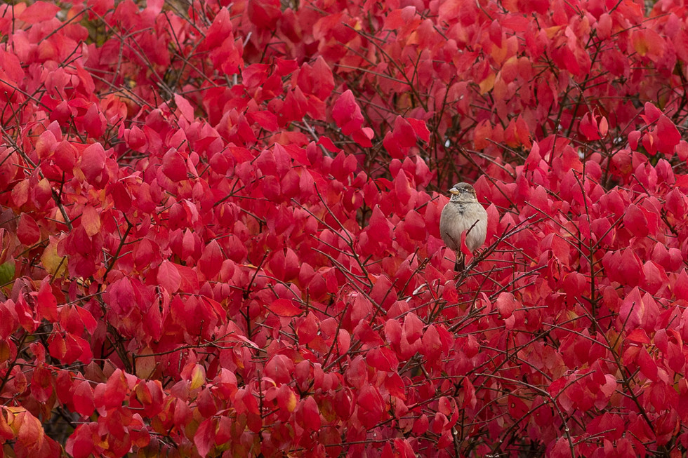 A cardinal would camoflage better