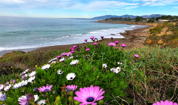 Pickleweed near Cambria