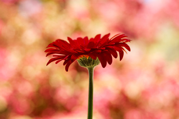 Red Gerbara Daisy with Crabtree background, Port Credit