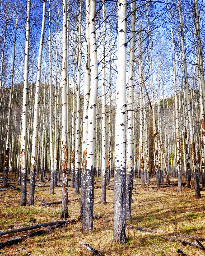 Poplar trees near Banff, Alberta