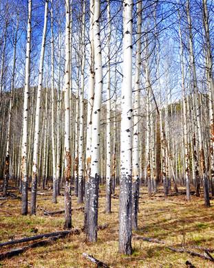 Poplar trees near Banff, Alberta