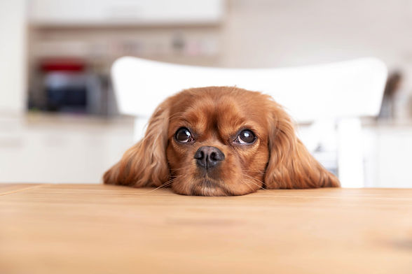 cute-dog-behind-the-kitchen-table-YQUCN9