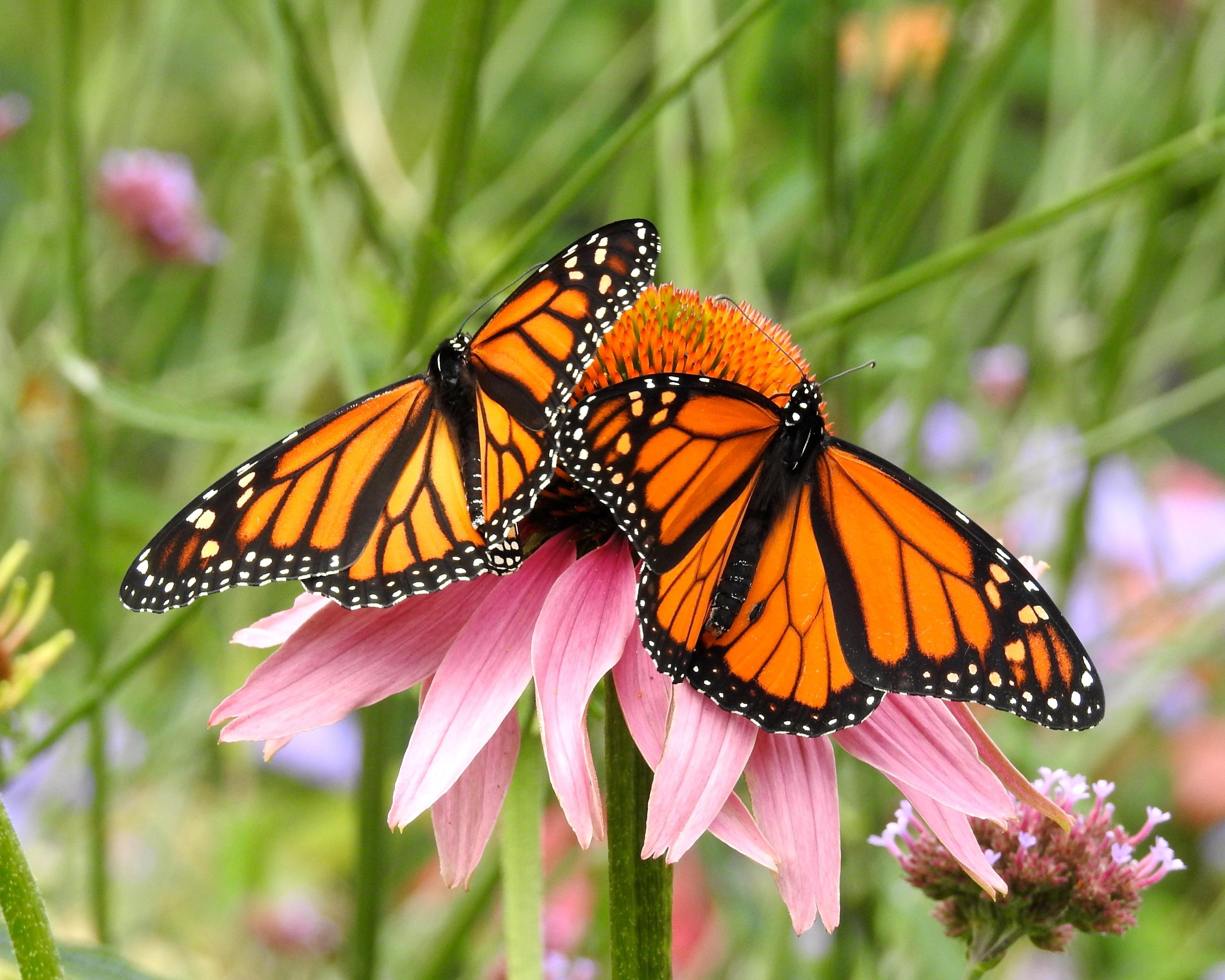 Papillonessa™