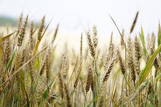 wheat-1556698_1920.jpg
