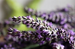 lavender-5401944_1920.jpg
