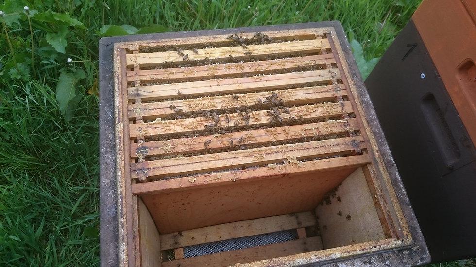 Bienenvolk, überwintert mit alt Königin vom letzten Jahr