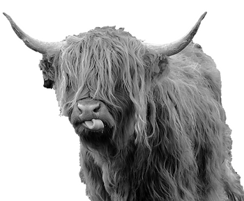 cow bw_edited.png