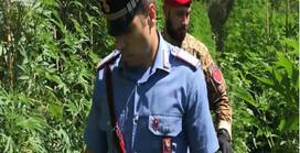 """I Carabinieri denunciano due agricoltori coltivatori di """"Cannabis""""."""