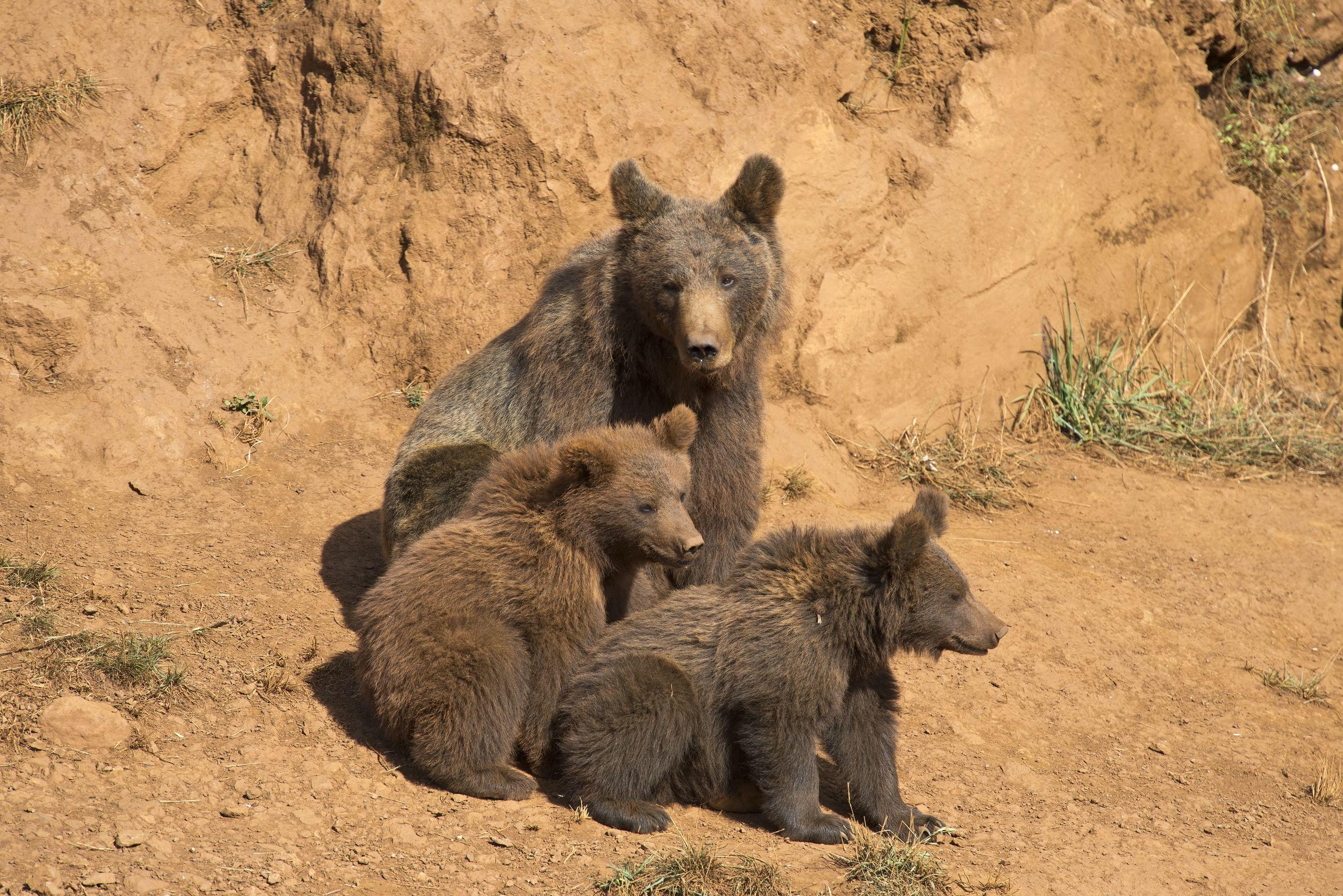 CANTABRIAN BEAR