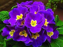 紫羅蘭.jpg
