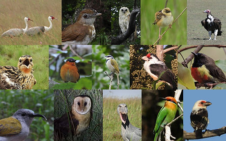 from top left to bottom right: Wattled Crane (Kasanka), Spotted Thrush-Babbler (Kakoma, Mwinilunga), Pel's Fishing-owl (Kasanka), Pale-crowned Cisticola (Kasanka), Lappet-faced Vulture (Chikuni), Grimwood's Longclaw (Kalwelwa Bushcamp, Mwinilunga), Bocage's Akalat (Mutinondo Wilderness), Black-collared Bulbul (Kalwelwa Bushcamp, Mwinilunga), Black-backed Barbet (Kasanka), Anchieta's Sunbird (Mutinondo Wilderness), Bannerman's Sunbird (Kalwelwa Bushcamp, Mwinilunga), Grass Owl (Mutinondo Wilderness), Shoebill (Chikuni), Böhm's  Bee-eater (Kasanka), Chaplin's Barbet (Nkanga, Choma)