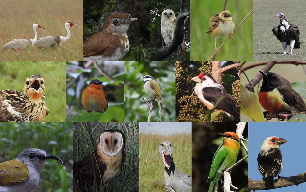 from top left to bottom right: Wattled Crane (Kasanka), Spotted Thrush-Babbler (Kakoma, Mwinilunga), Pel's Fishing-owl (Kasanka), Pale-crowned Cisticola (Kasanka), Lappet-faced Vulture (Chikuni), Grimwood's Longclaw (Kalwelwa Bushcamp, Mwinilunga), Bocage's Akalat (Mutinondo Wilderness), Black-collared Bulbul (Kalwelwa Bushcamp, Mwinilunga), Black-backed Barbet (Kasanka), Anchieta's Sunbird (Mutinondo Wilderness), Bannerman's Sunbird (Kalwelwa Bushcamp, Mwinilunga), Grass Owl (Mutinondo Wilderness), Shoebill (Chikuni), Böhm's  Bee-eater (Kasanka), Chaplin's Barbet (Nkanga, Choma)