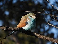 Racket-tailed Roller (Livingstone area)