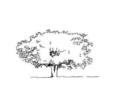 Kigelia tree 2.jpg