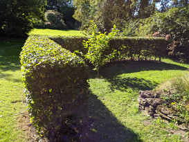 L shaped beech hedge
