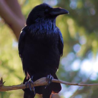 Raven Outside My Back Door