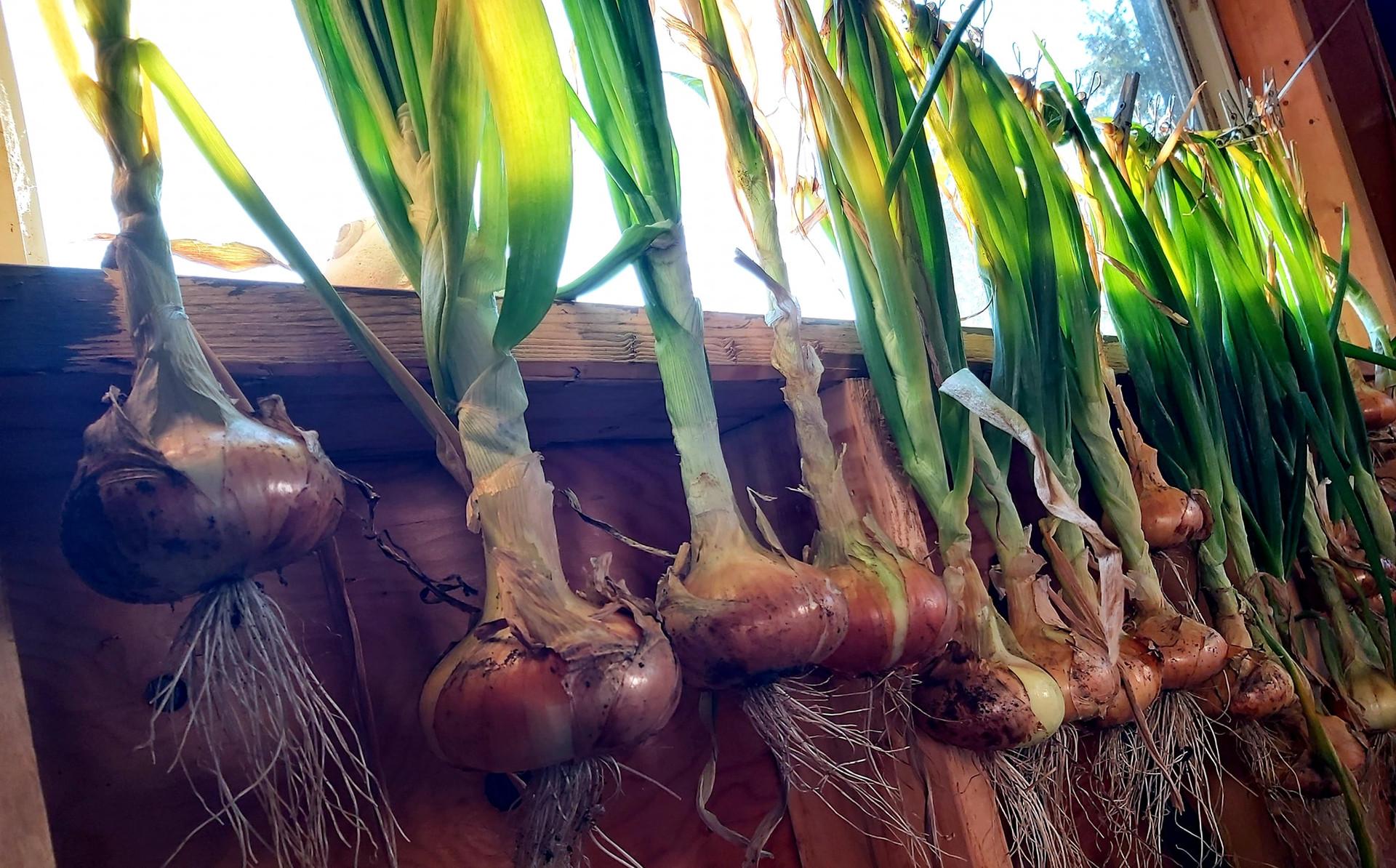 onionssuns.jpg
