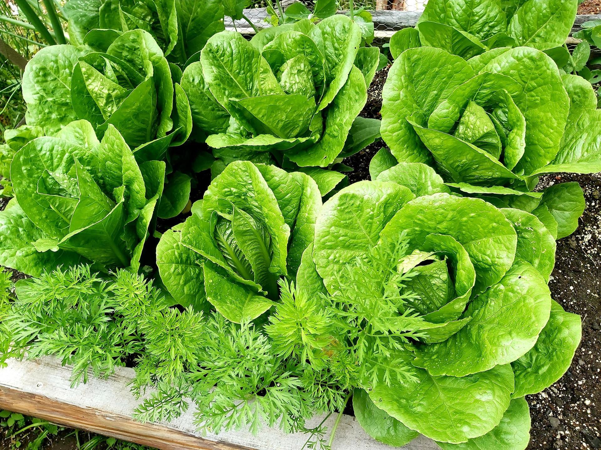 lettucecrop.jpg
