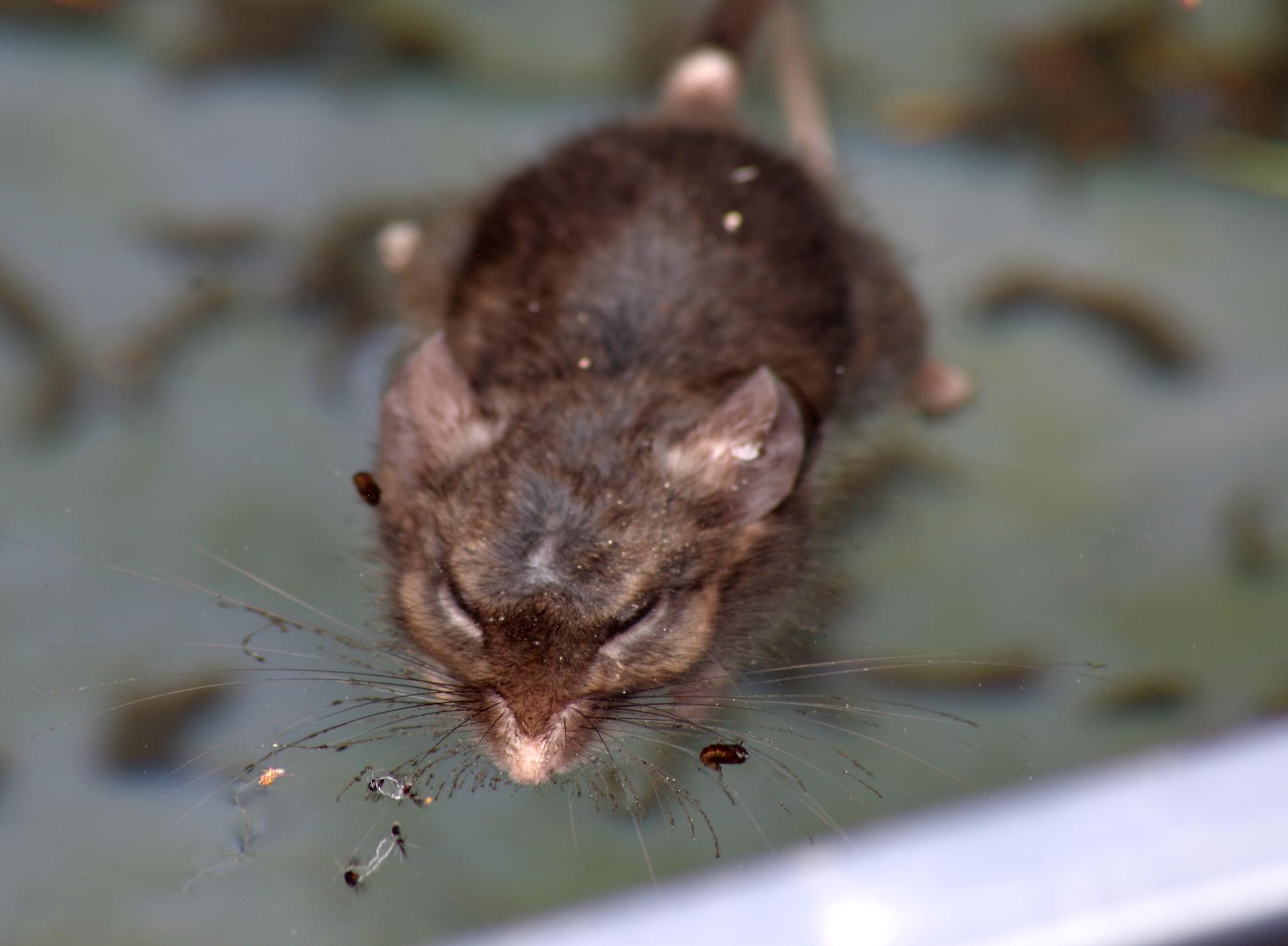 mousesleep.png