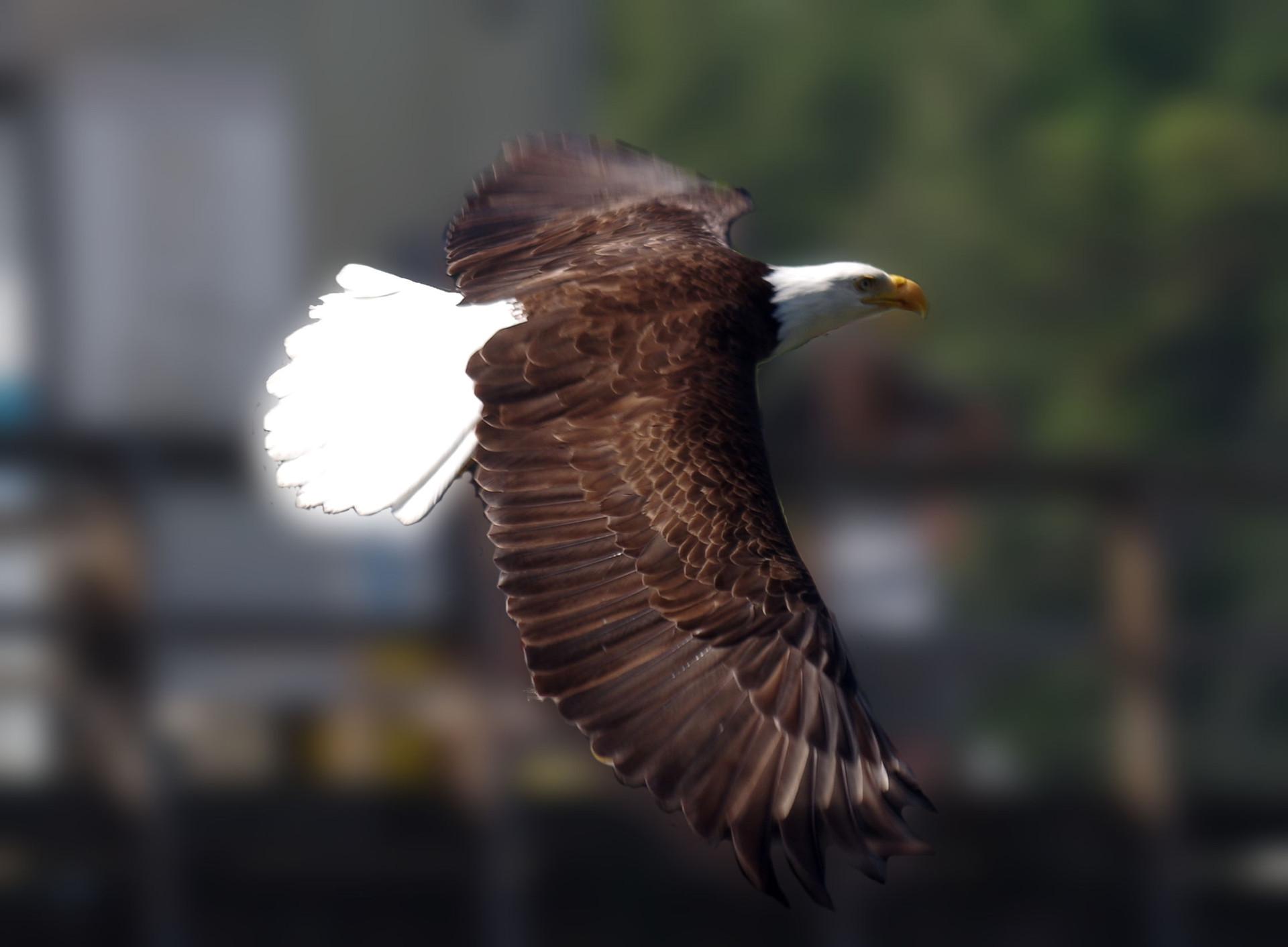 eagleflightprint.jpg