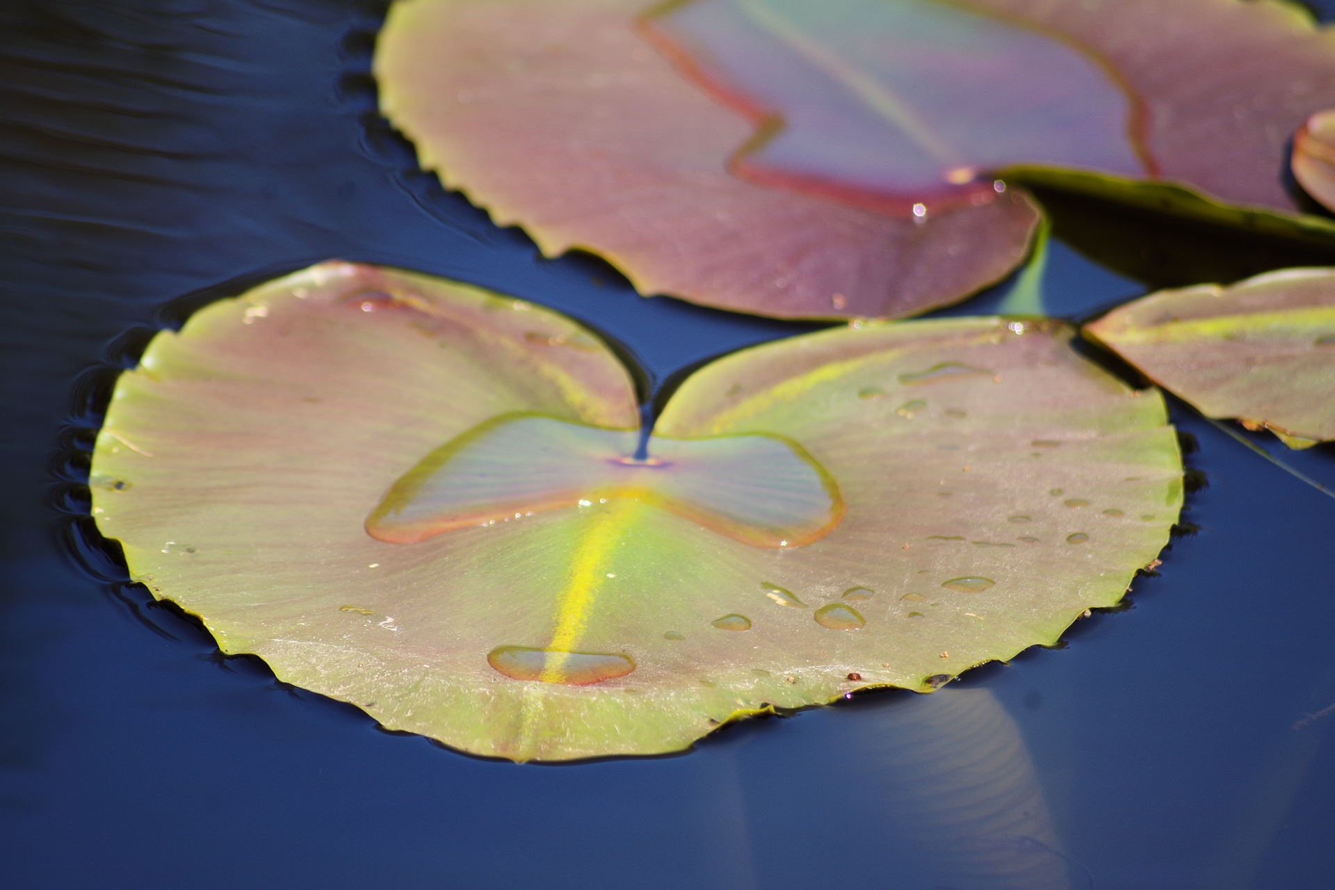 Lilypads.png