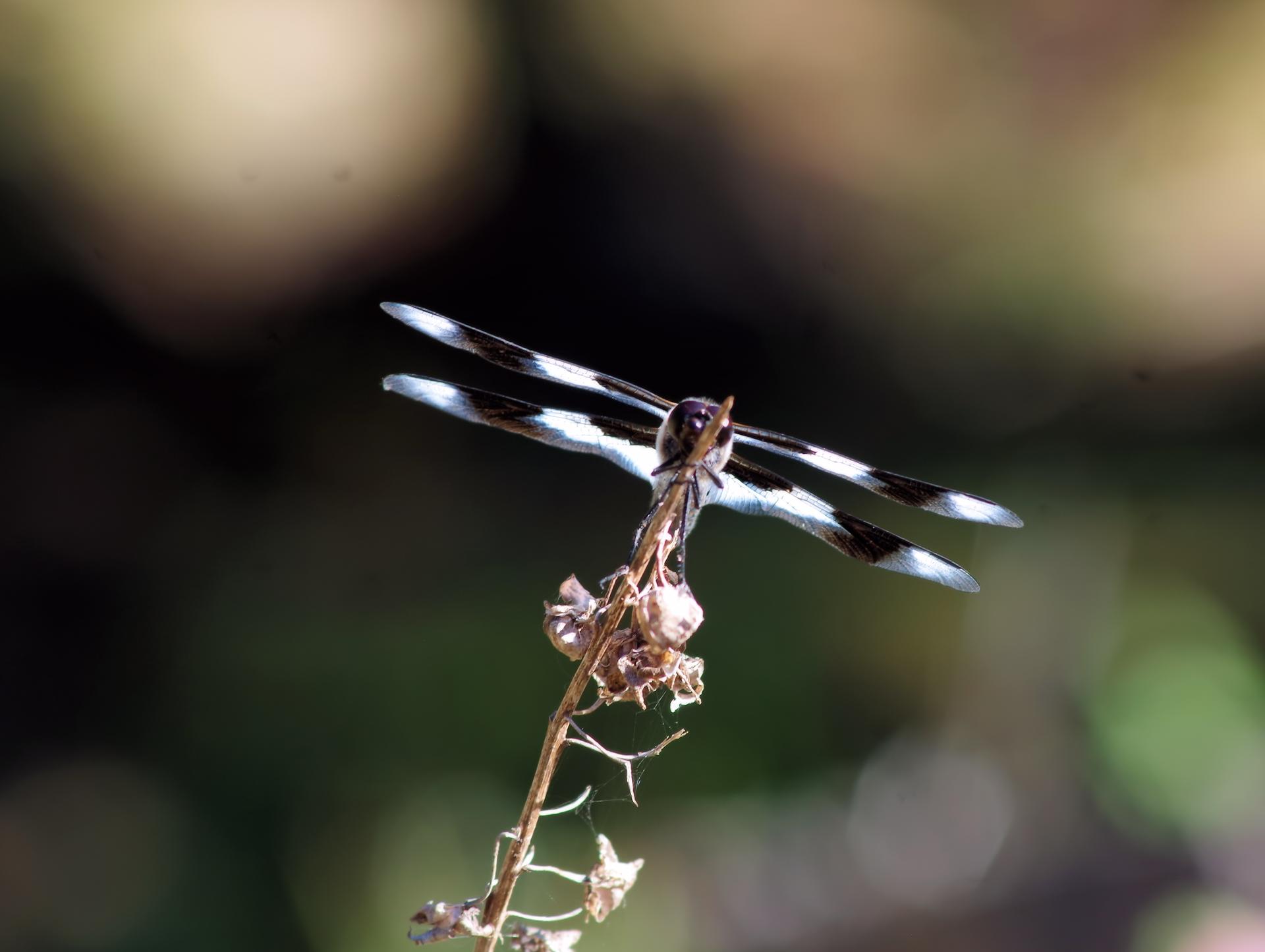 dragonflydreams.png