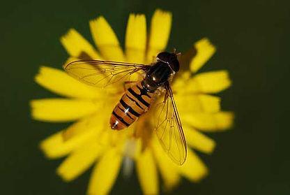 Honey bee sitting on a dandelion