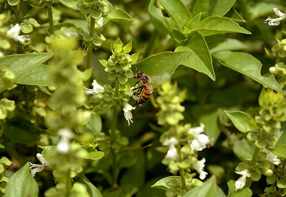 Tulsi leaf Basil in bloom with a honey bee.