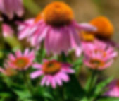 Photo of Echinacea in bloom also known as the Cone Flower.