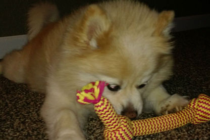 Cherry the Pomerania chewing on her toy.