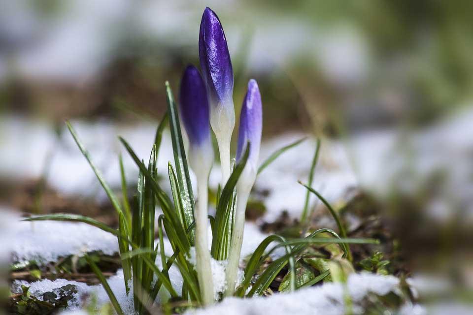 Spring flowers poking through the snow