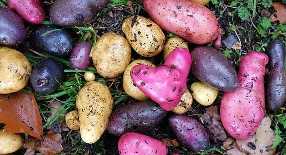 Potatoes of different colors, one looks like a heart.