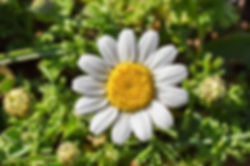 Chamomile flower and buds