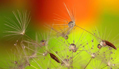 Very colorful image of dandelion seed heads.