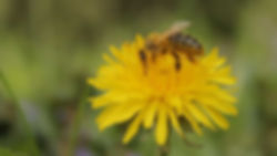 Bee pollinating a dandelion.