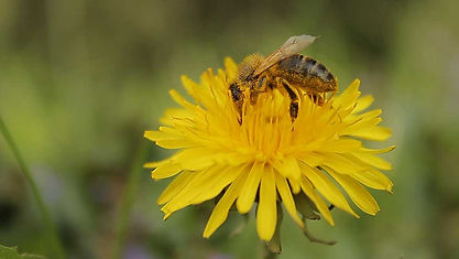 Bee pollinating a dandelion.