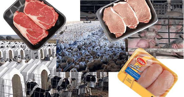 CAFO, pig and chicken farms, smell of death. Images of cramp conditions.