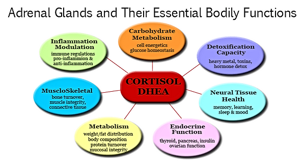 Adrenal Glands and Their Essential Bodily Functions.