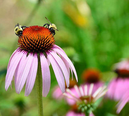 Echinacea in bloom with two bumble bees.