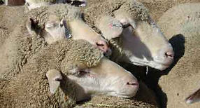 Sheep herded by the corporation, Edward Bernays.