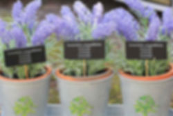 Lavender in plant pots, growing and harvesting lavender.