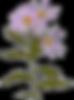 Echinacea flower art.