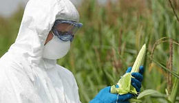 Person in a haz-mat suit, holding a fresh piece of corn. GMO- Force Feeding the World.