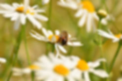 Bee on flowering Chamomile and the harm of chemical sprays.