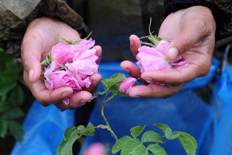 1公噸玫瑰只能萃取1公斤玫瑰原精,花期每年五月只有短短三周,需於一早當露珠能停留在花瓣上時摘採,摘後即運至場房進行蒸餾提煉,所有程序得在一天內一氣呵成。由於氣候影響產量,當產量稀少時,價格比黃金更貴。